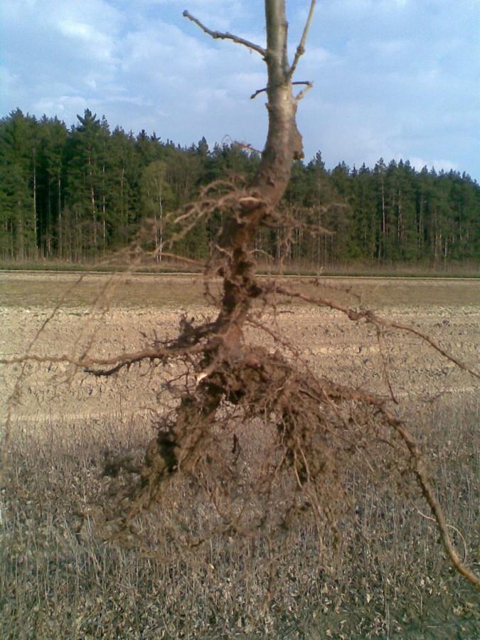 Kořenový systém dubu letního
