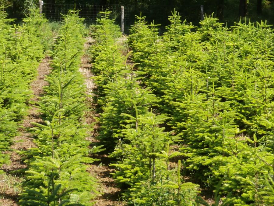 Plantáž vánočních stromků – jedle kavkazská