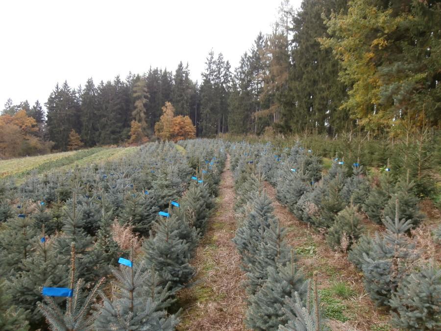 Plantáž vánočních stromků – smrk pichlavý