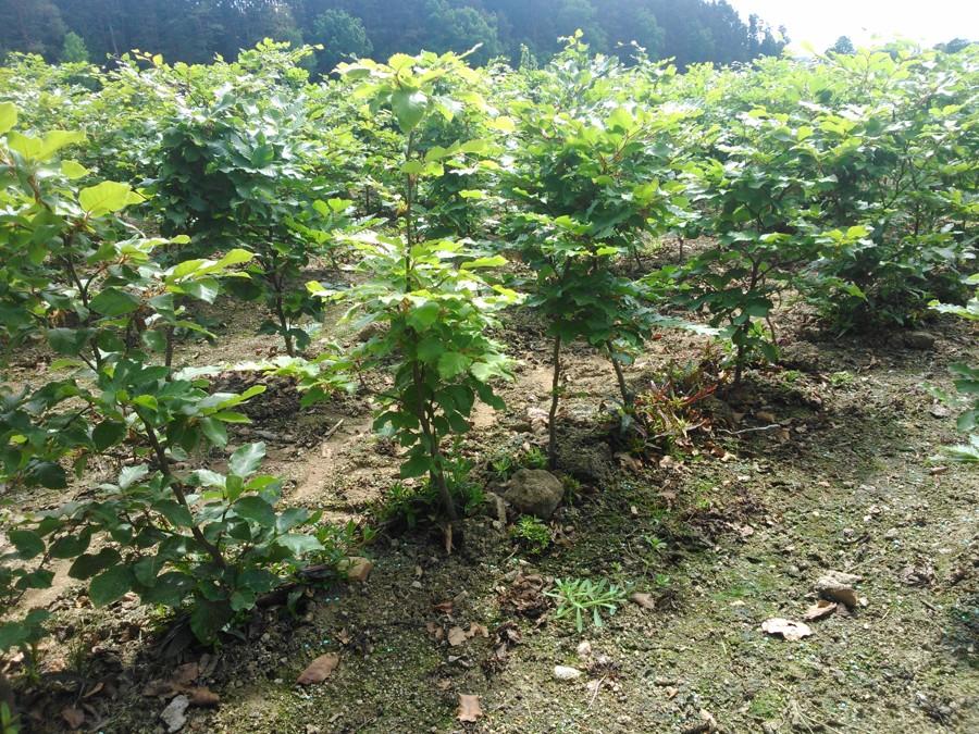 Poloodrostky buku lesního