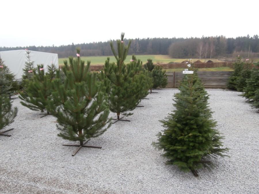 Prodej vánočních stromků na Staňkově