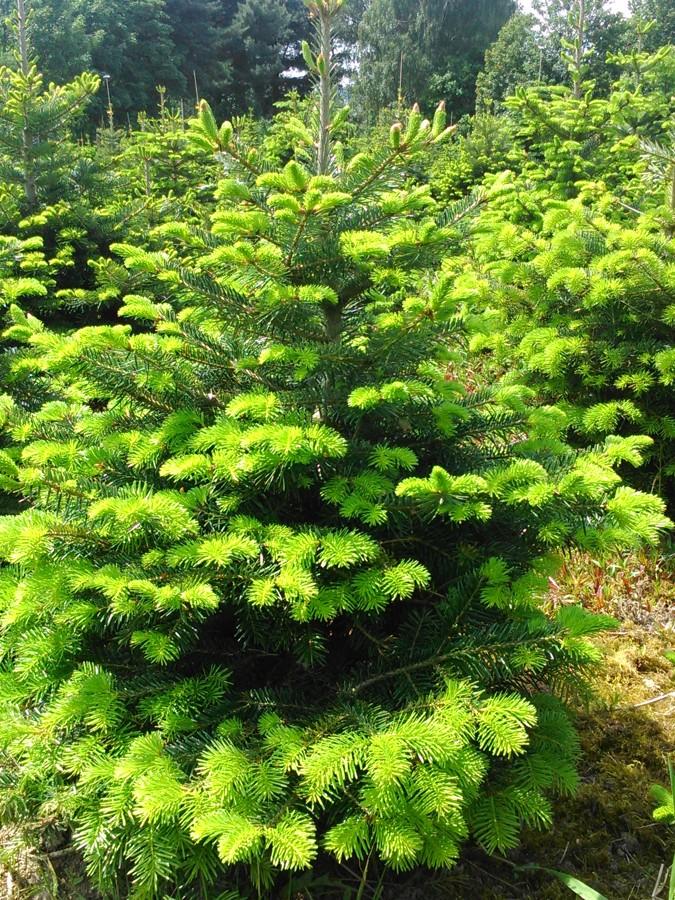 Vánoční stromek – jedle kavkazská