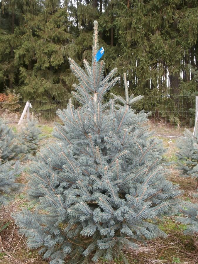 Vánoční stromek – smrk pichlavý