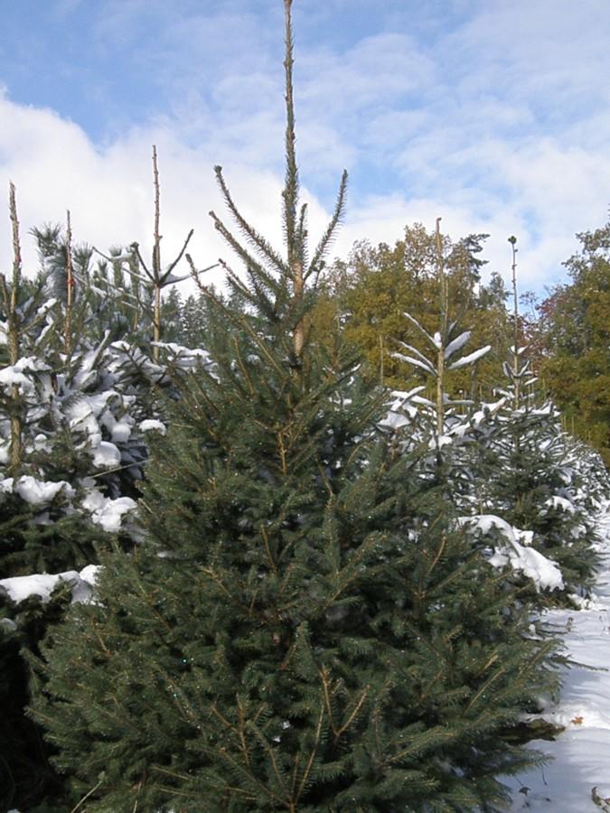 Vánoční stromek – smrk ztepilý