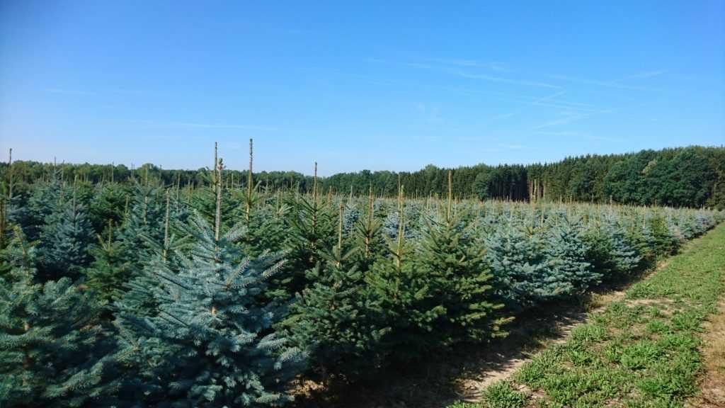Vánoční stromky - smrk pichlavý