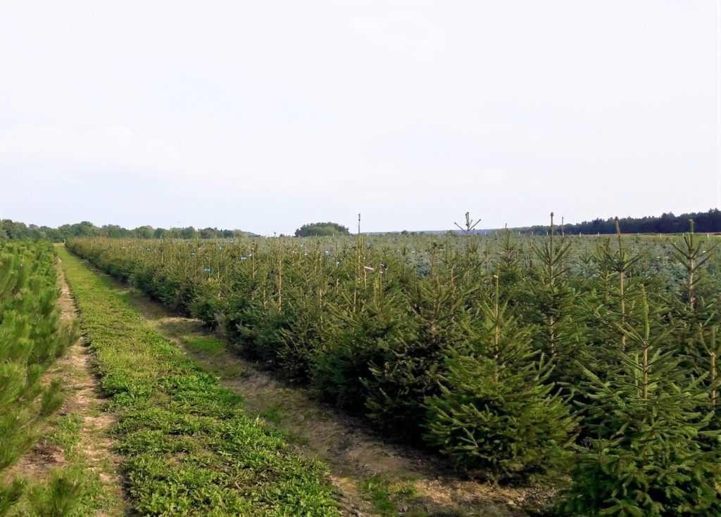 Vánoční stromky - smrk ztepilý