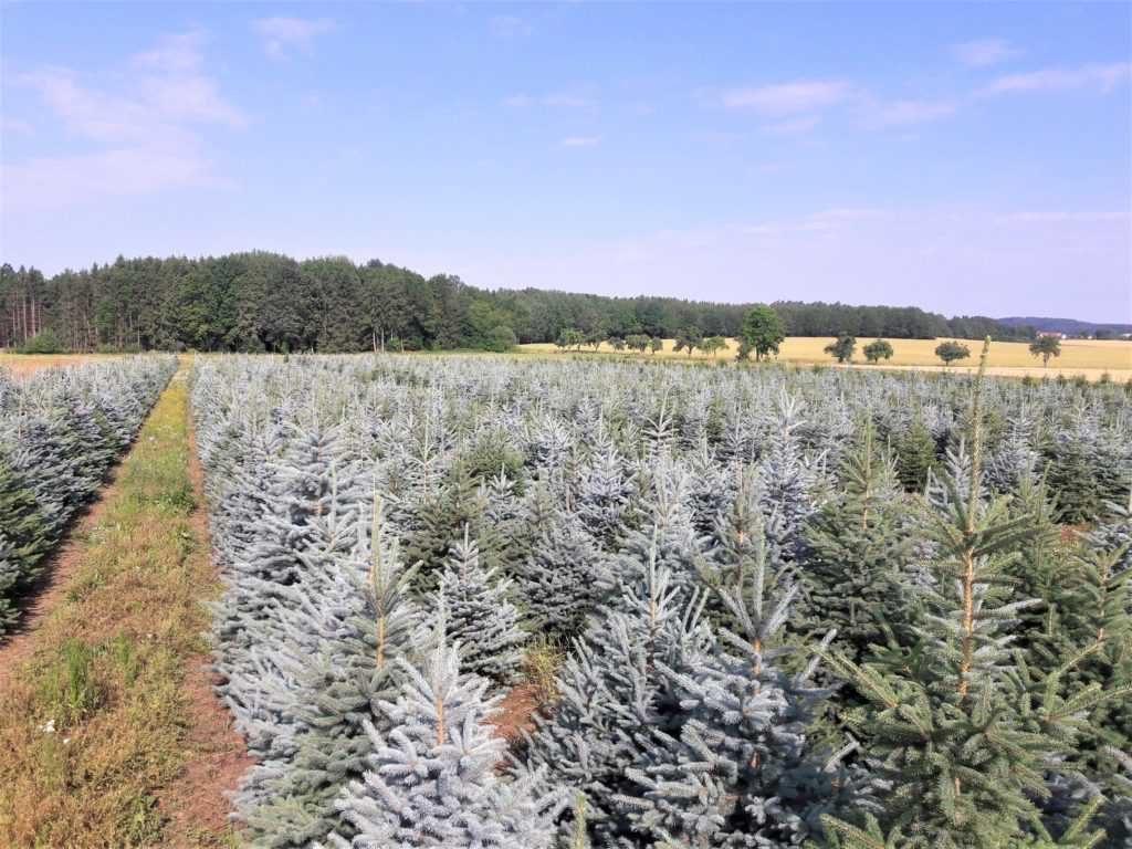 Plantáž vánočních stromků - smrk pichlavý