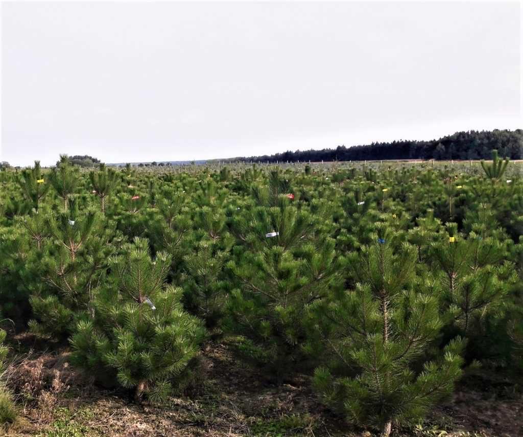 Vánoční stromky - borovice černá