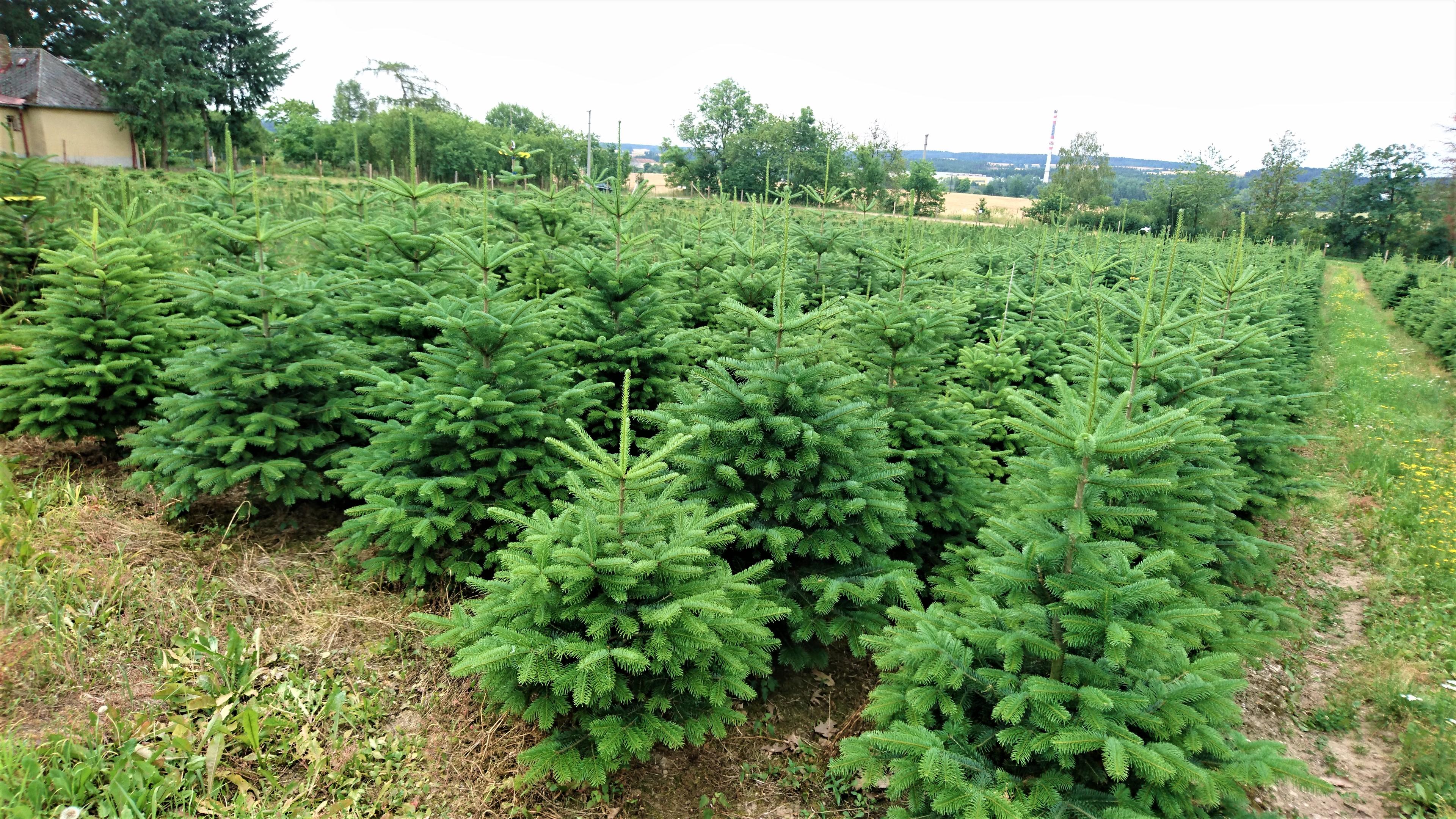 Plantáž vánočních stromků - jedle kavkazská